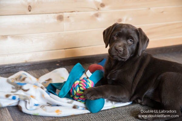 Double LL Labradors - Chocolate Lab pups SK