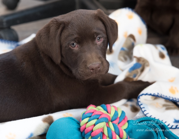Double LL Labradors - Lab pups SK - Chocolate Lab pups