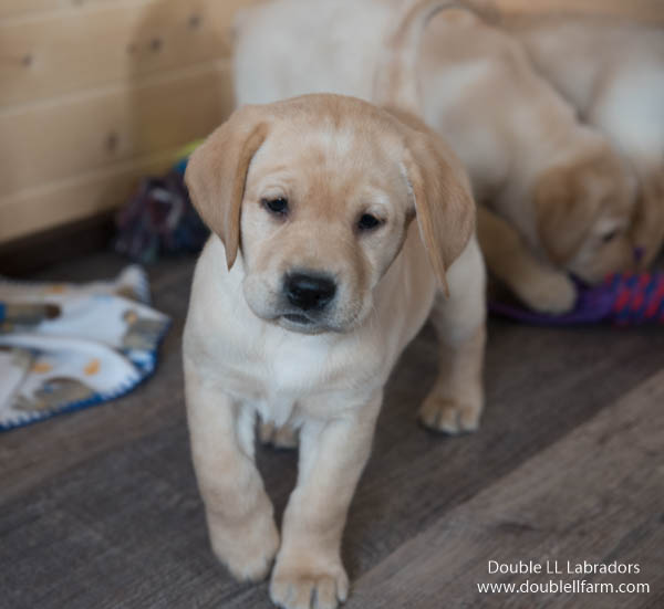 Double LL Labradors - yellow Lab pups SK