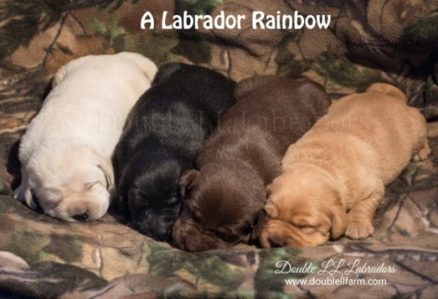 Double LL Lab puppies - Lab pups SK