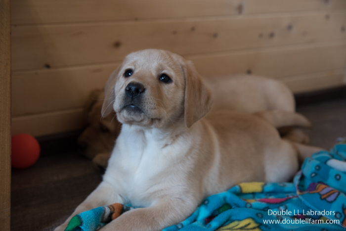 Double LL Labradors - CKC Lab pups in SK